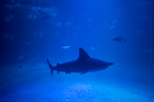 Grey reef shark. Oceanografic, Valencia