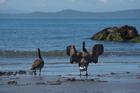Canada Geese. Ogden Point, Victoria