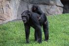 Chimpanzees. Valencia Bioparc