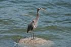 Great Blue Heron. Stanley Park