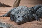 Nile Crocodile. Valencia Bioparc