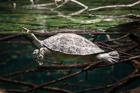 Painted Batagur Turtle