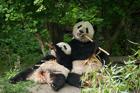 Pandas. Schonbrunn Tiergarten. Vienna