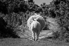 Sheep on the Little Orme, Llandudno